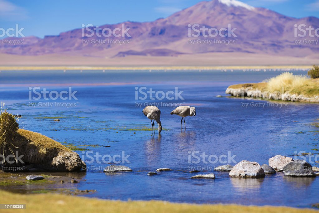 Atacama Salar in Chile with a pair of flamingos in water stock photo
