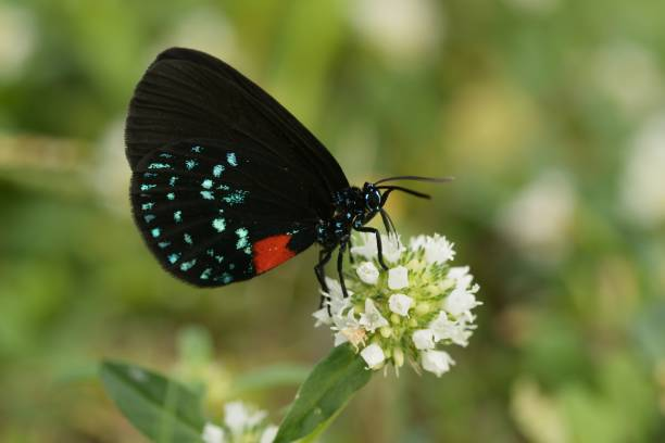 Atala Butterfly Nectaring.