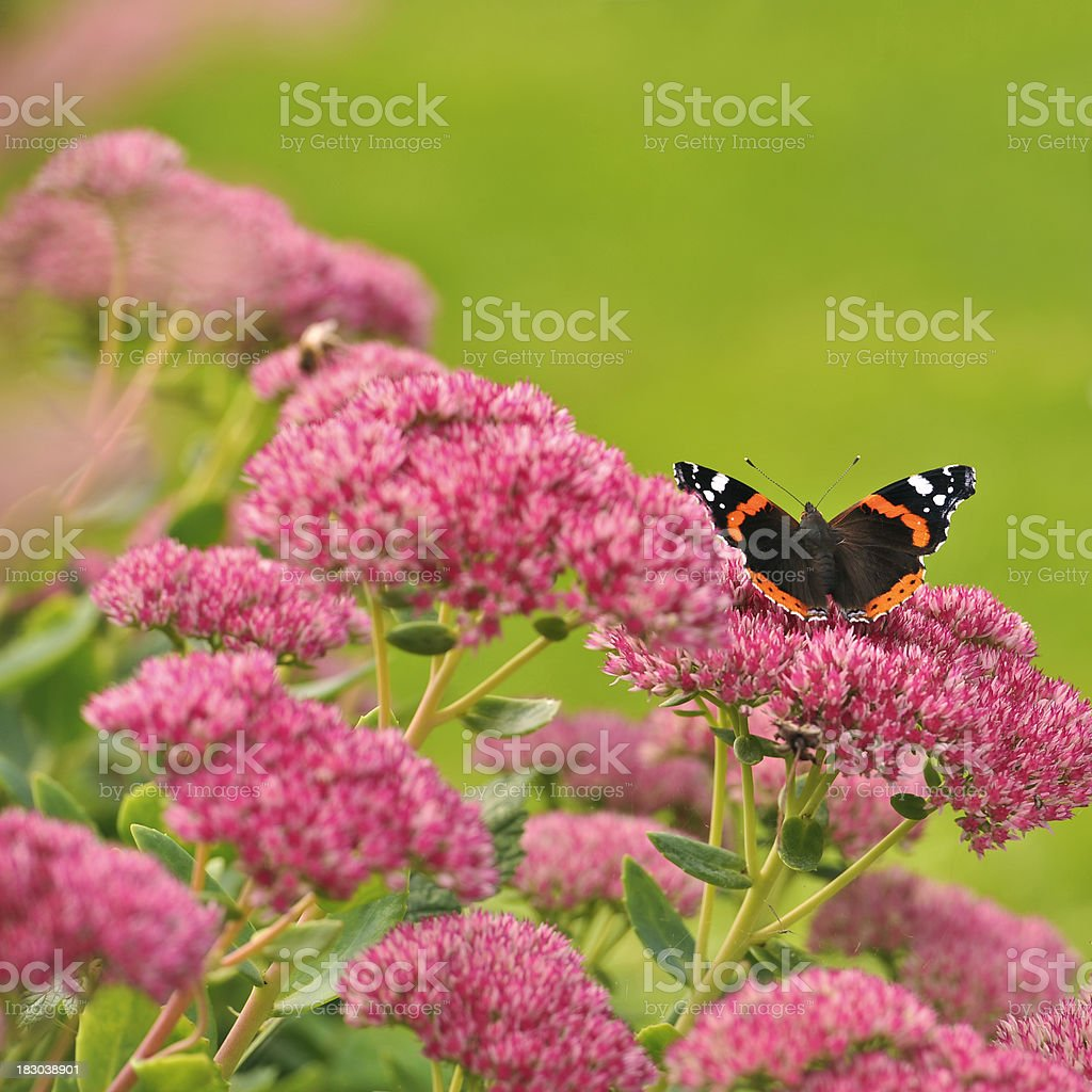 Atalanta butterfly  sitting on a sedum plant in full bloom. stock photo