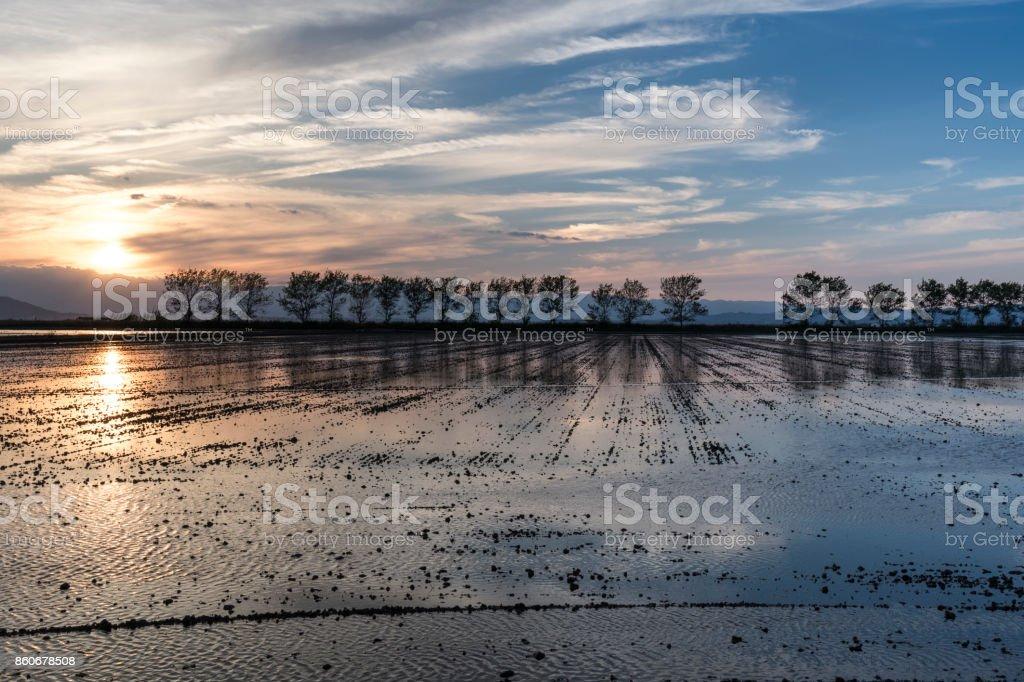 Atardecer en arrozal stock photo