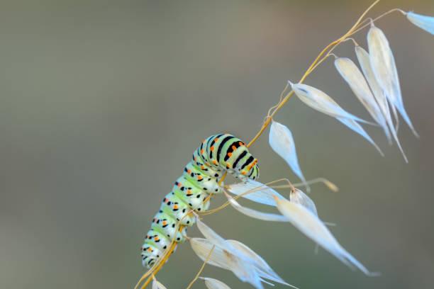 Сaterpillar of swallowtail stock photo