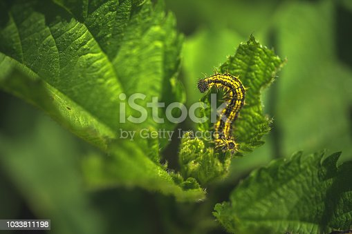 Сaterpillar on leaf