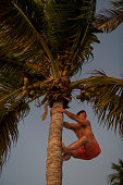 A man vacationing at Marathon in the Florida Keys climbs up the trunk of a coconut palm tree for fun at sunset.