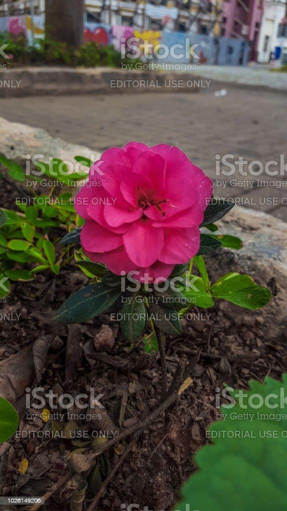 Flor rosa Atibaia - foto de acervo