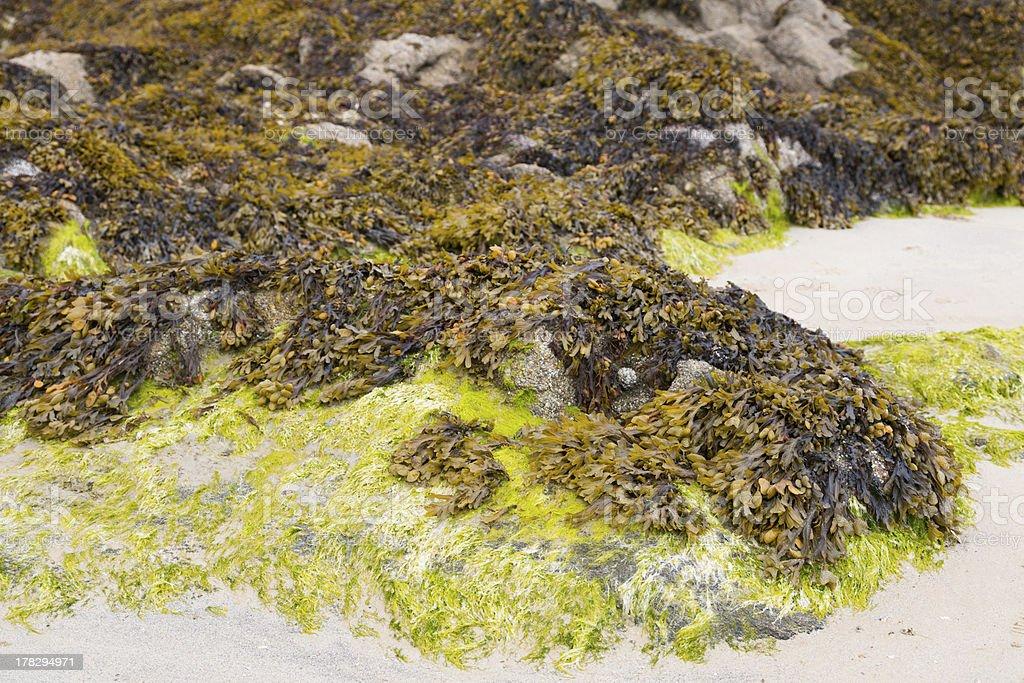 Atlantic algae royalty-free stock photo