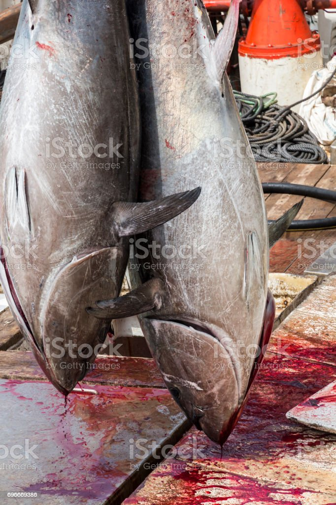 Atlantic Bluefin tuna caught by the Almadraba maze net system and hanging at harbor pier. stock photo
