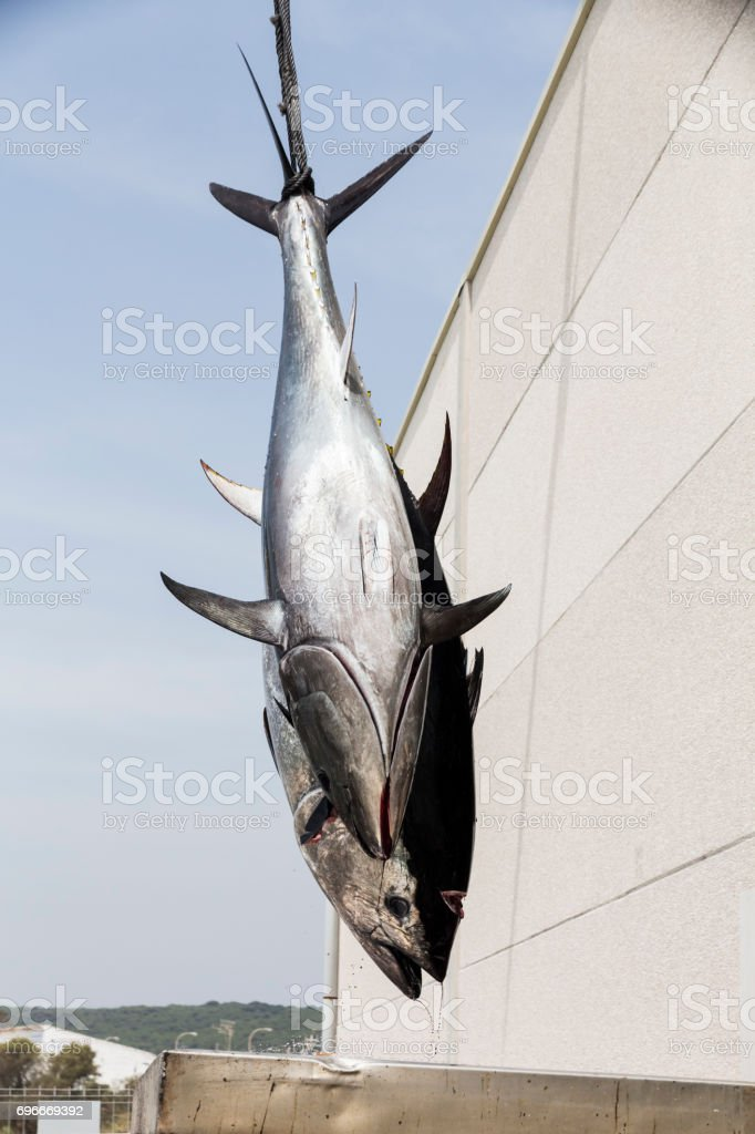 Atlantic Bluefin tuna caught by the Almadraba maze net system being unloaded at harbor pier. stock photo