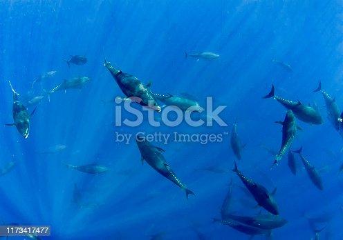 156872766 istock photo Atlantic Bluefin Tuna (Thunnus thynnus) 1173417477