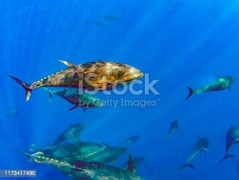 156872766 istock photo Atlantic Bluefin Tuna (Thunnus thynnus) 1173417490