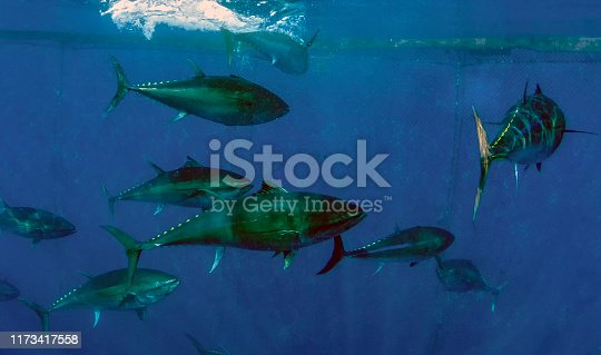 156872766 istock photo Atlantic Bluefin Tuna (Thunnus thynnus) 1173417558