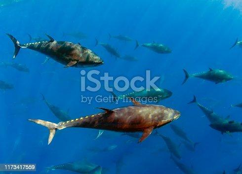 156872766 istock photo Atlantic Bluefin Tuna (Thunnus thynnus) 1173417559