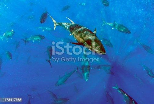 156872766 istock photo Atlantic Bluefin Tuna (Thunnus thynnus) 1173417588