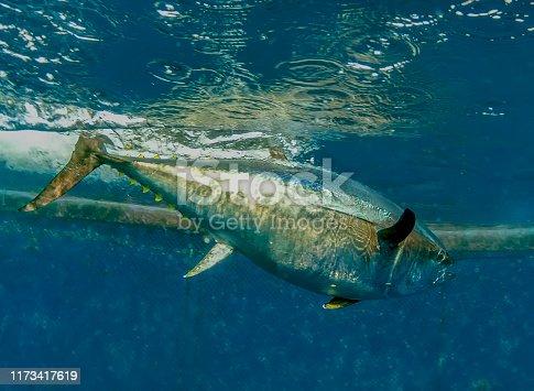 156872766 istock photo Atlantic Bluefin Tuna (Thunnus thynnus) 1173417619