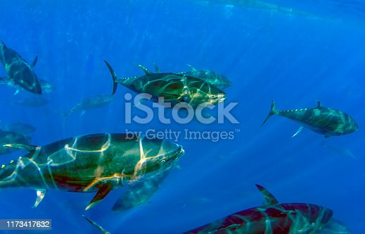 156872766 istock photo Atlantic Bluefin Tuna (Thunnus thynnus) 1173417632