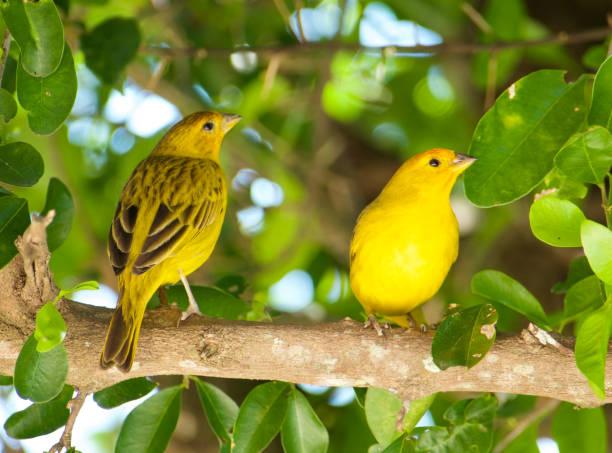 canaries atlantique. - canari photos et images de collection
