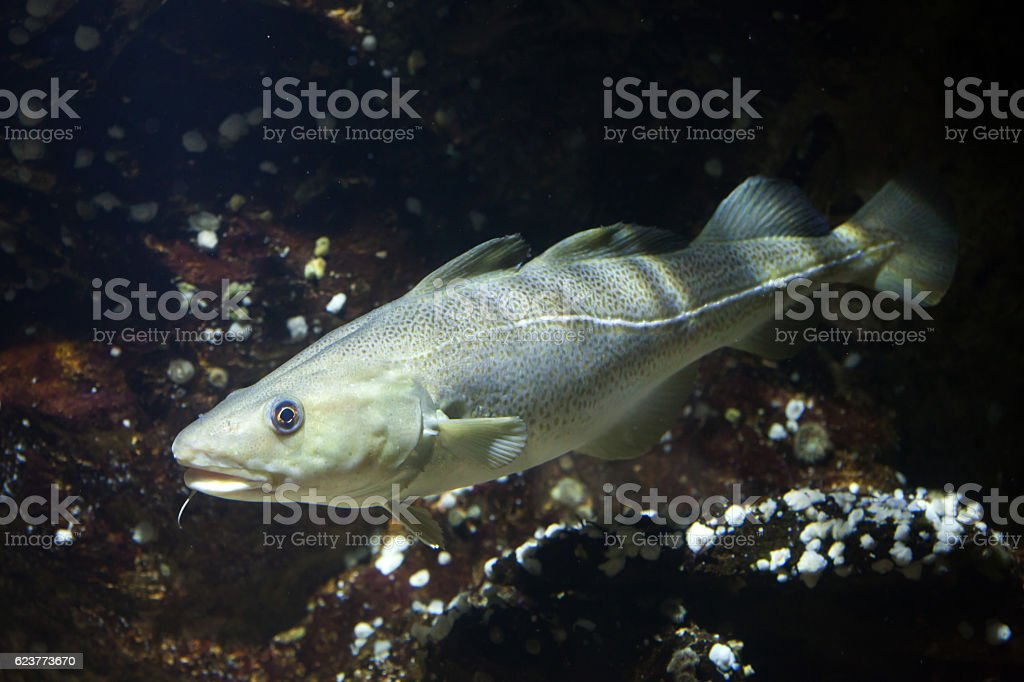 Atlantic cod (Gadus morhua). stock photo