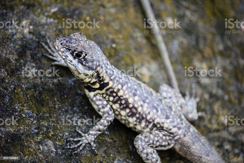 Atlantic Forest lizard in Rio de Janeiro stock photo