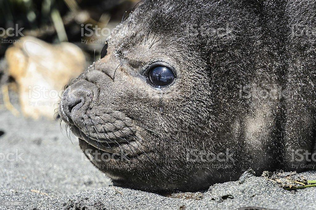 Atlantic fur seal and its cute eyes. royalty-free stock photo