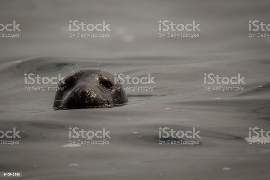 UK Atlantic Grey Seal stock photo