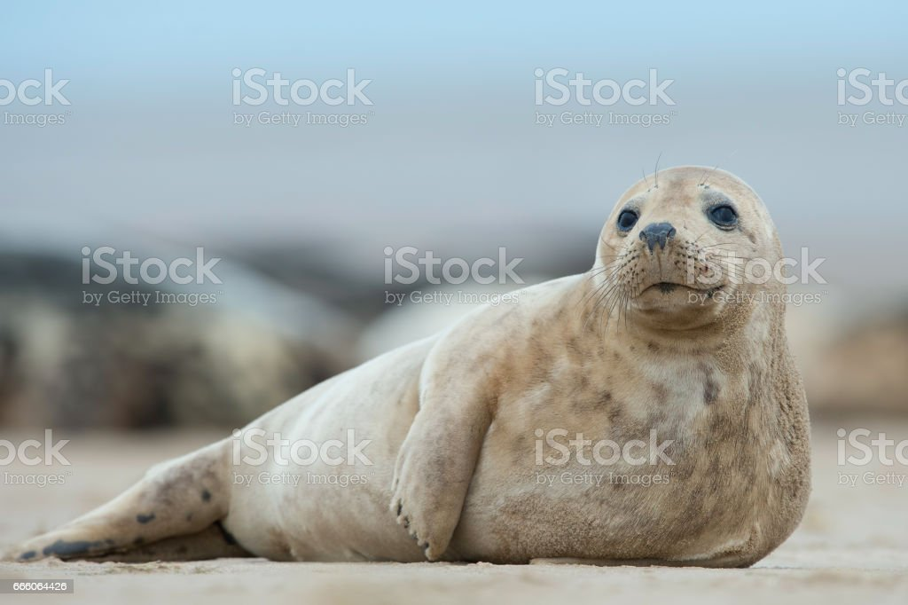 Atlantic Grey Seal pup (Halichoerus grypus) stock photo