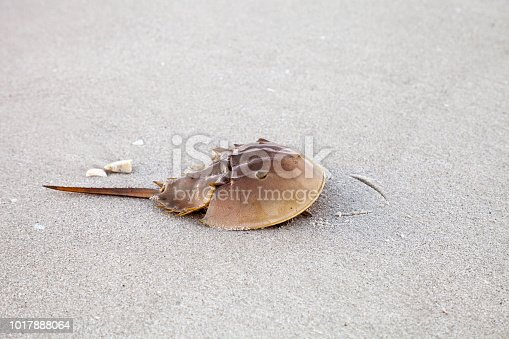Atlantic Horseshoe crab Limulus polyphemus walks along the white sand of Clam Pass Beach in Naples, Florida in summer.