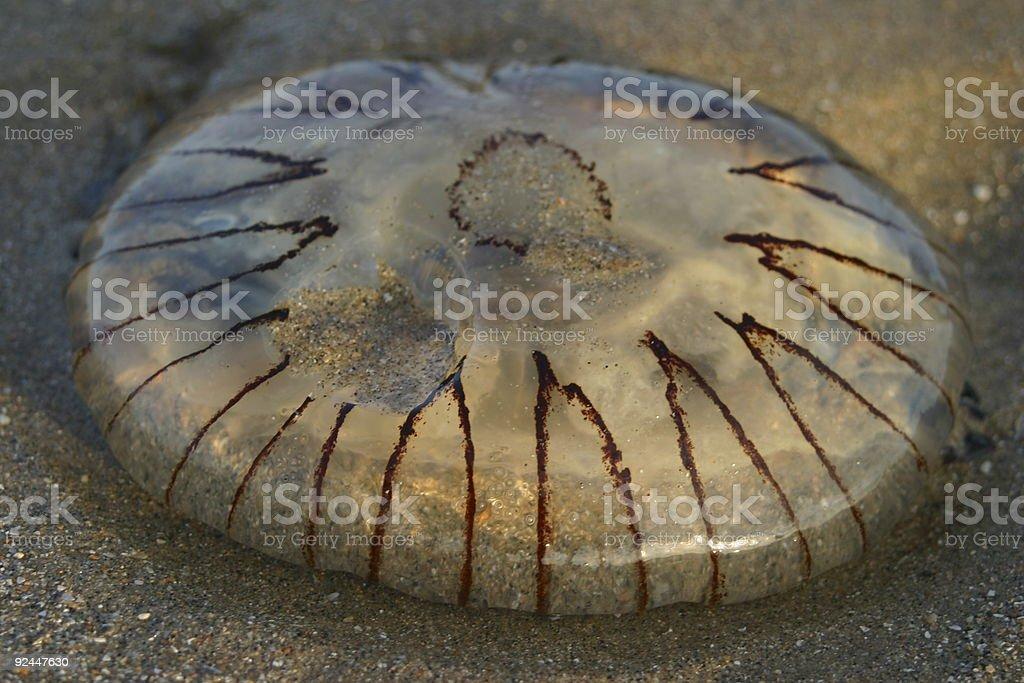 atlantic jellyfish stock photo