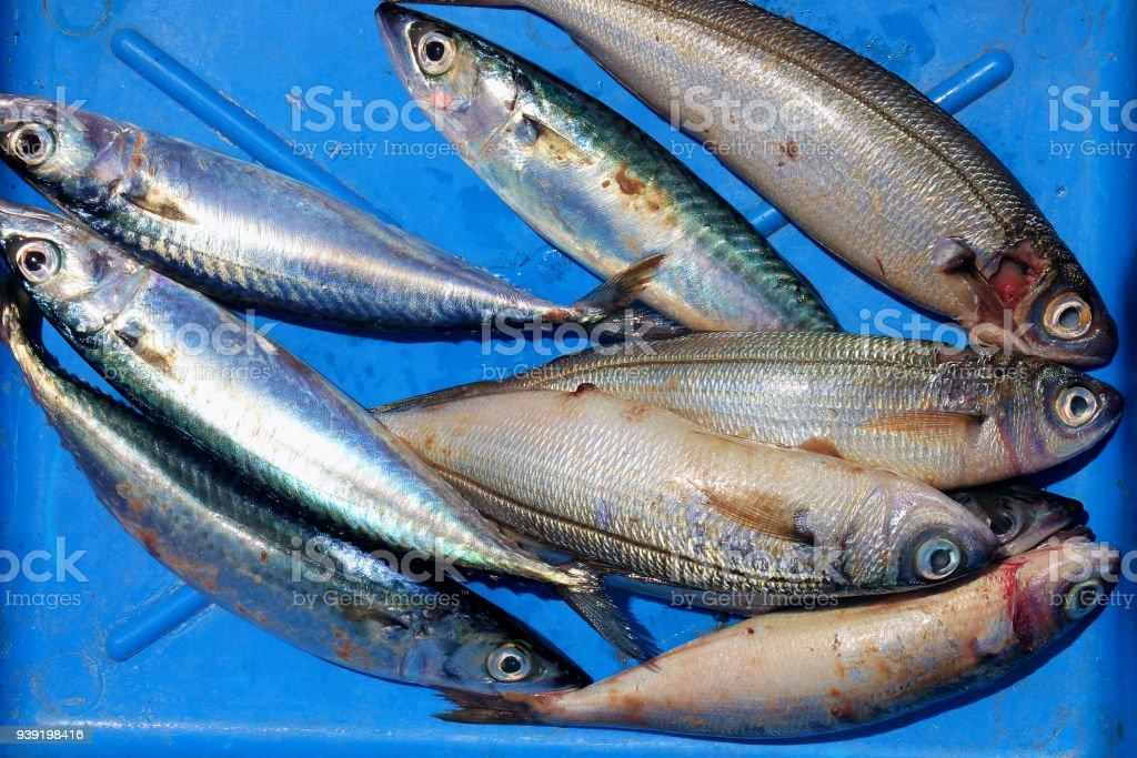 Atlantic mackerel & Boops boops stock photo