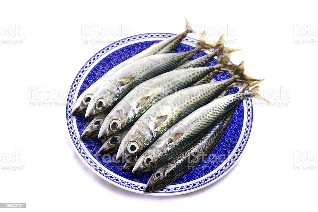 Atlantic mackerel royalty-free stock photo