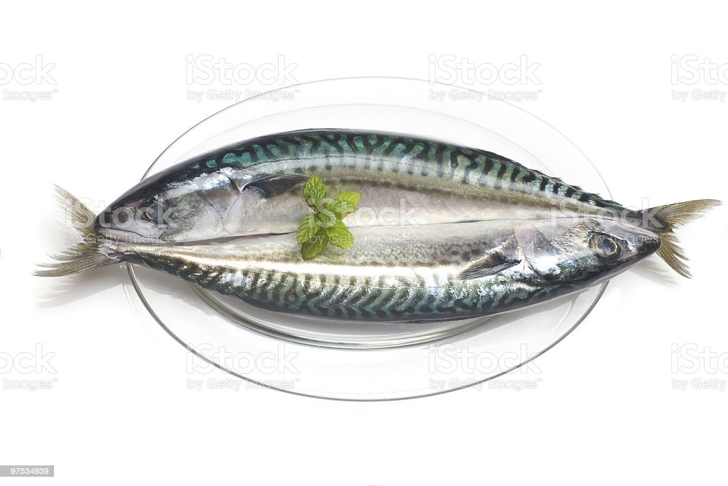atlantic mackerel. scomber scombrus royalty-free stock photo