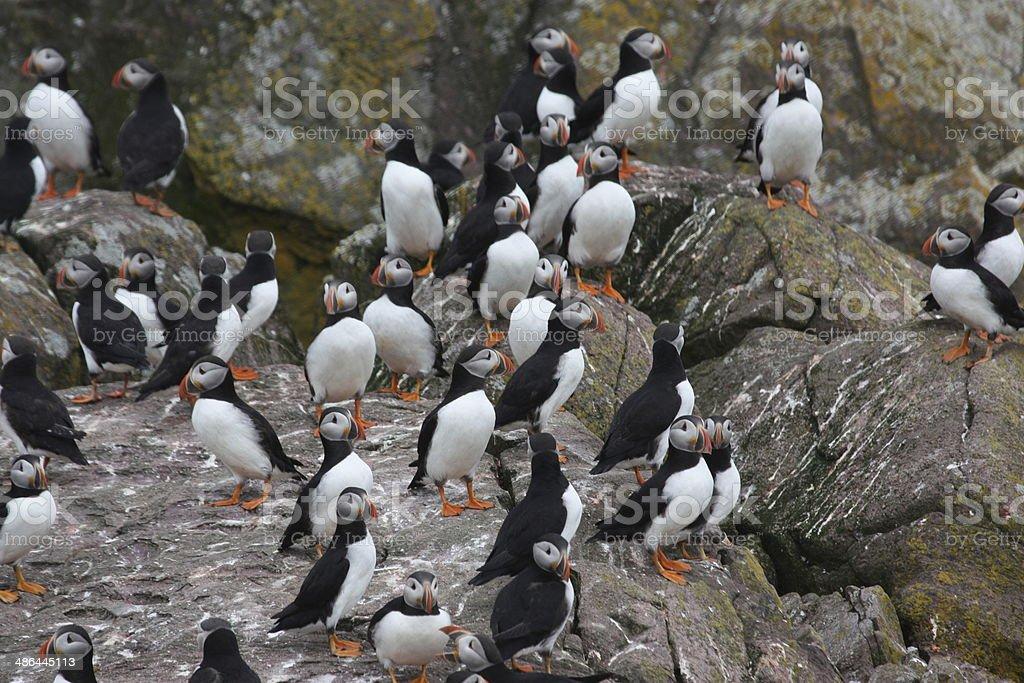 Atlantic Puffin Colony - Birds of Newfoundland, Canada stock photo