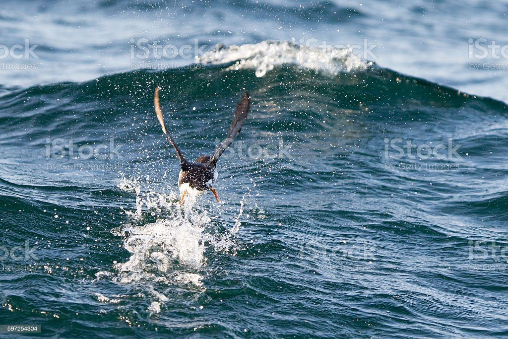 Atlantic Puffin (Fratercula arctica) flying low above water stock photo
