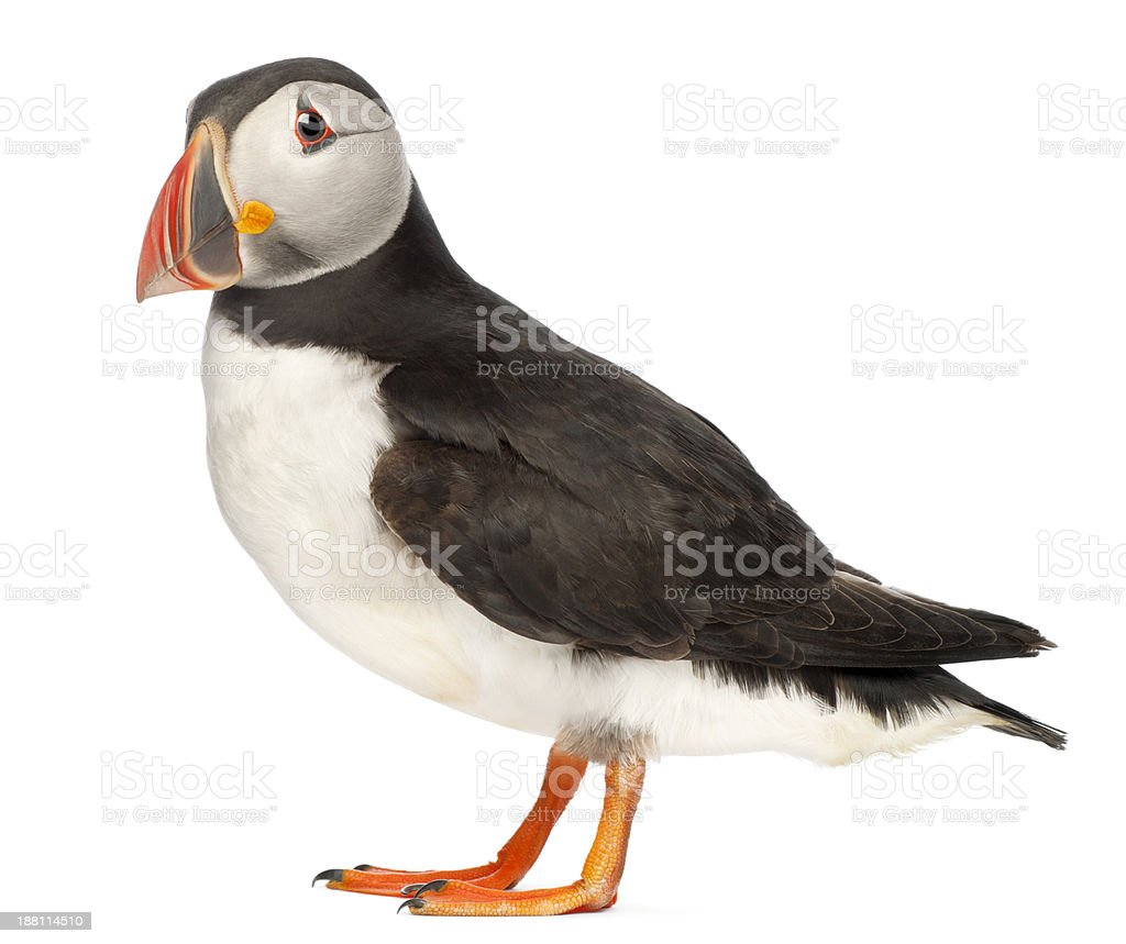 Atlantic Puffin Fratercula arctica isolated on white stock photo