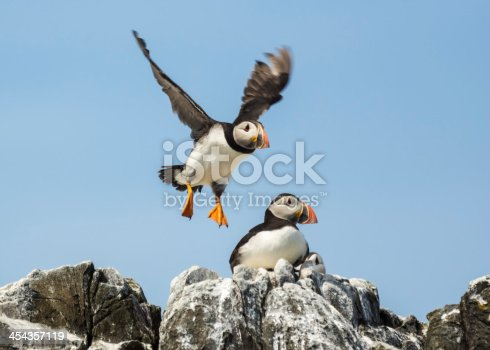 common puffin, atlantic puffin, fratercula arctica
