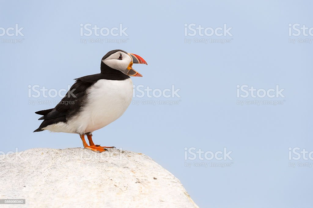 Atlantic Puffin, Fratercula Artica. calling, mouth opened, screaming, stock photo