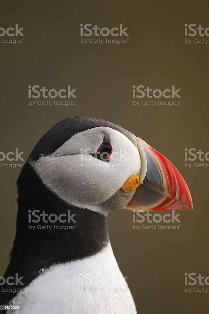 Atlantic Puffin head portrait royalty-free stock photo