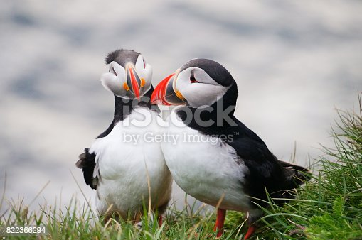 istock Atlantic Puffin in Latrabjarg cliffs, Iceland. 822366294