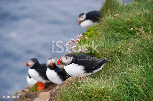 istock Atlantic Puffin in Latrabjarg cliffs, Iceland. 824819826