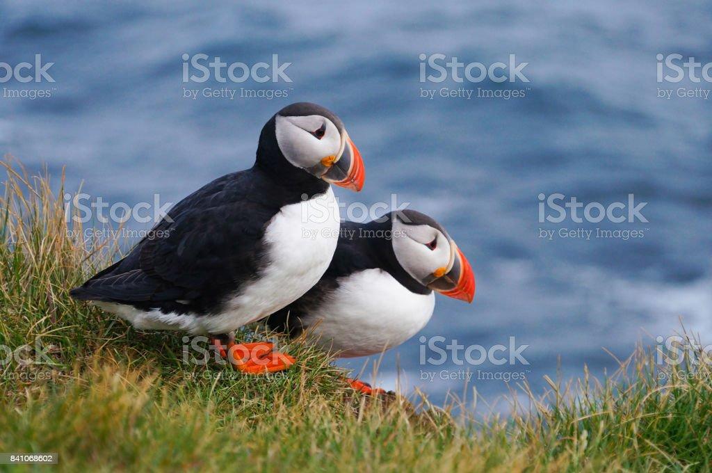 Atlantische papegaaiduiker in Latrabjarg kliffen, IJsland. - Royalty-free Atlantische oceaan Stockfoto