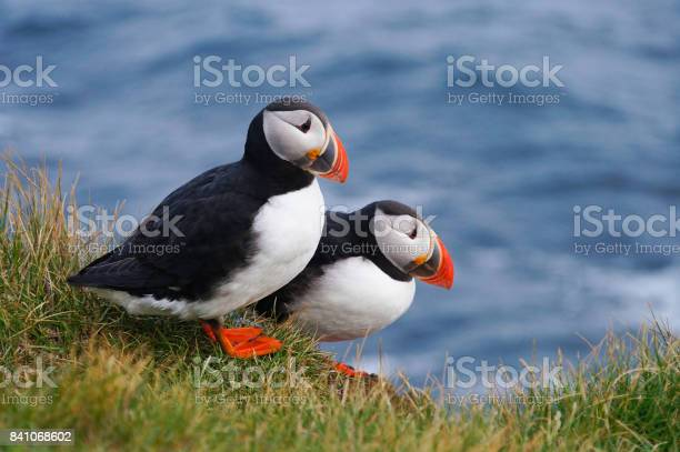 Atlantische Papegaaiduiker In Latrabjarg Kliffen Ijsland Stockfoto en meer beelden van Atlantische oceaan
