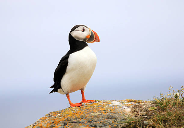 Atlantic Puffin - Newfoundland, Canada Atlantic Puffin standing on rocky cliff, Newfoundland, Canada. A clown faced seabird. auk stock pictures, royalty-free photos & images