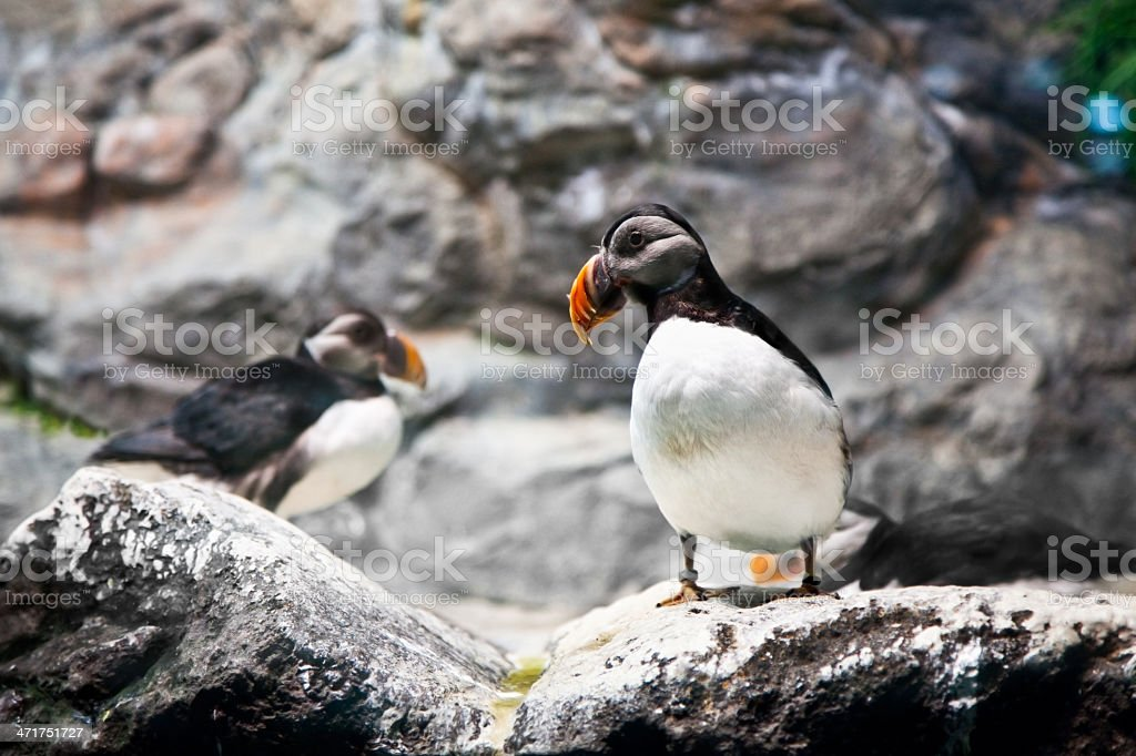 Atlantic Puffin on cliff royalty-free stock photo