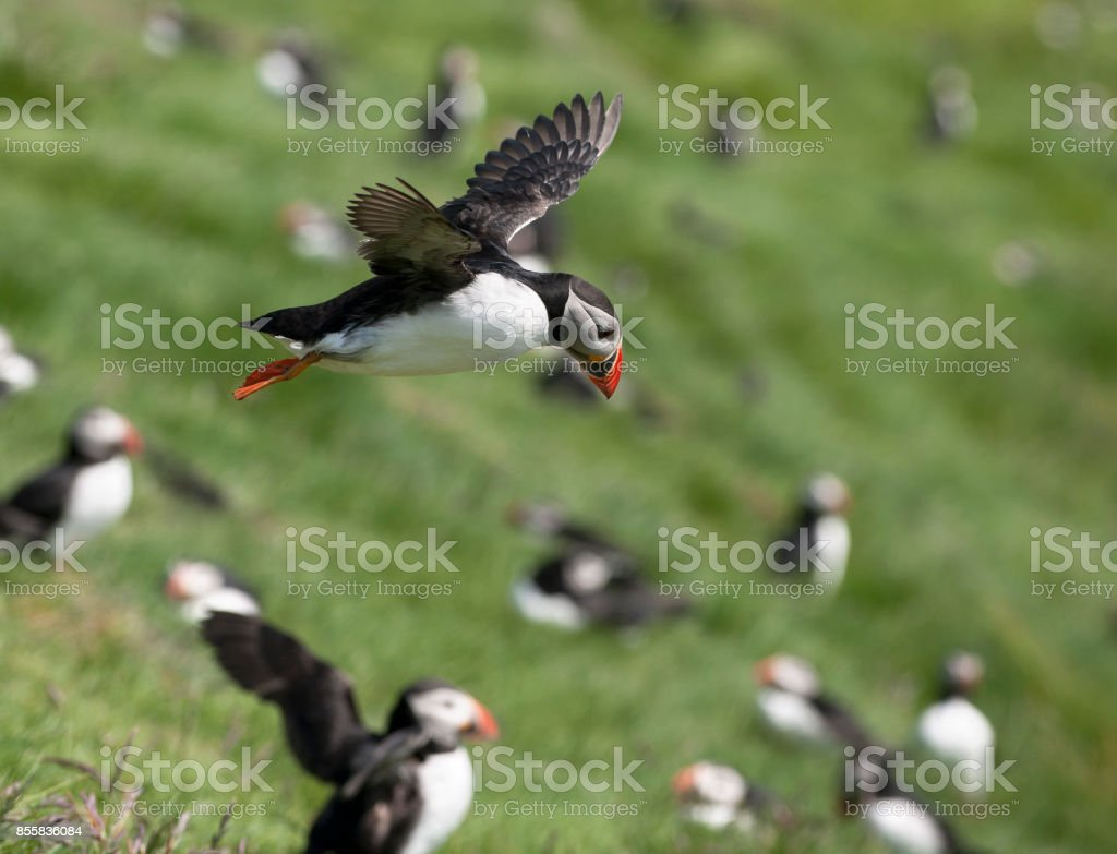 Atlantic Puffin or Common Puffin, Fratercula arctica, in flight on Mykines, Faroe Islands stock photo