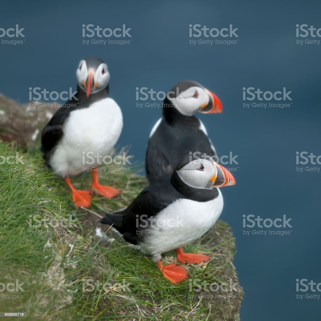 Atlantic Puffin or Common Puffin, Fratercula arctica, on Mykines, Faroe Islands stock photo