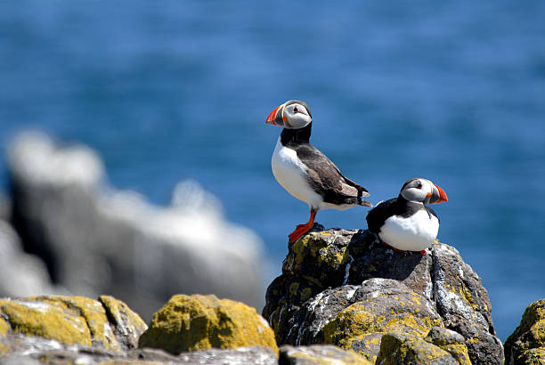Atlantic Puffin Puffin on Isle of May, Scotland auk stock pictures, royalty-free photos & images