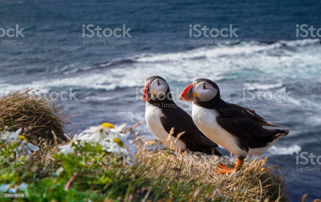 Atlantic Puffin Atlantic Puffin from Iceland Animal Wildlife Stock Photo