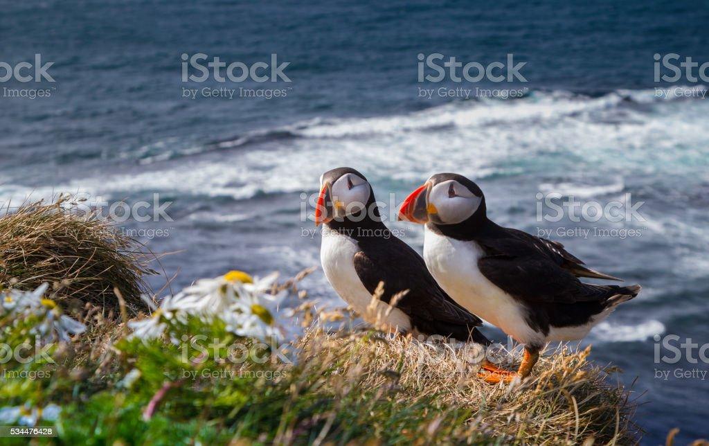 Atlantic Puffin stock photo