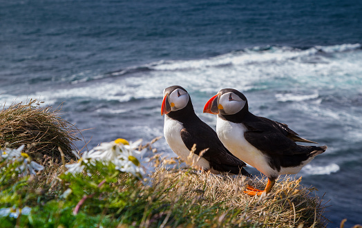 Atlantic Puffin Stock Photo - Download Image Now