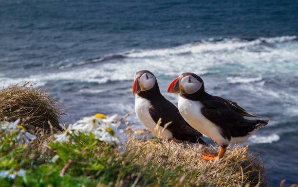 Atlantic Puffin Atlantic Puffin from Iceland auk stock pictures, royalty-free photos & images