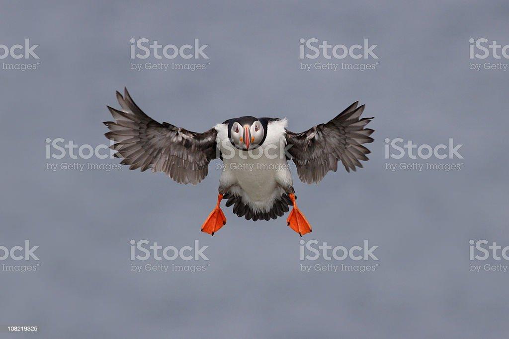 Atlantic Puffin Seabird Flying