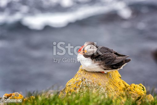 Atlantic puffin single bird on the stone against the ocean background, animals in the wild